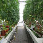 Onderstam speelt minimale rol bij voedingsopname tomatengewas