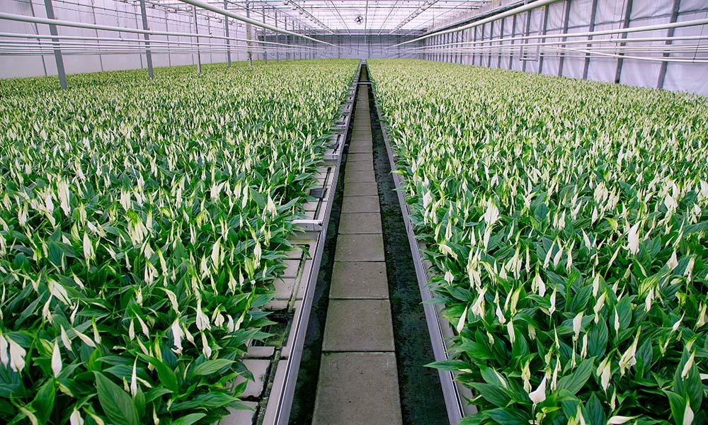 Nieuwe soorten vragen soms om een aangepast voedingsrecept. Bij de standaard teeltwijze kunnen deze planten gebreksverschijnselen als chlorose vertonen.