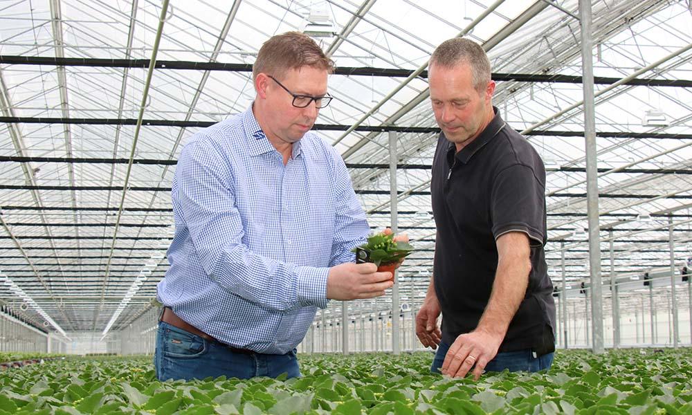 Teeltmanager Kees Hendriks zet 'spikes' met galmuggen uit in het gewas.