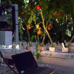 Non-destructieve kwaliteitsbeoordeling tomaat aan de plant