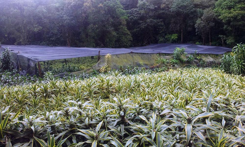 Draceana-productie in Costa Rica