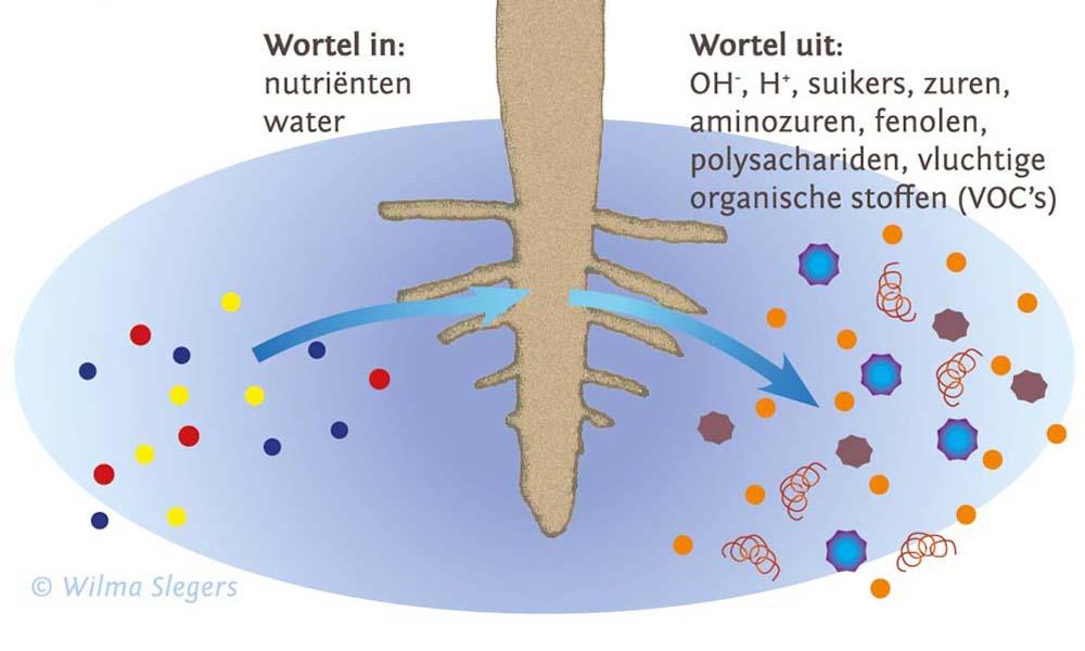 Het hele bodemleven communiceert met elkaar via vluchtige stoffen. Planten doen daar volop aan mee.