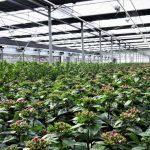 Bij de teelt van anthurium en phalaenopsis zijn met een dimbare belichtingsinstallatie besparingen in de elektriciteitskosten mogelijk tot 7%.