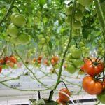 TuinbouwAlert publiceert hygiëneprotocol voor bestrijding Tomatenchlorosisvirus