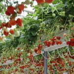 Duurzaam en competitief teeltsysteem voor aardbei