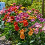 Gerberaplanten van Florist Holland