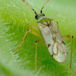 De roofwants Nesidiocoris tenuis