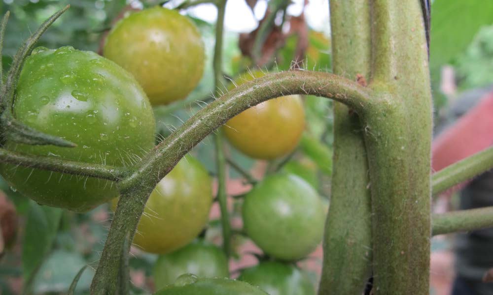 Lichte schade aan de tomatenplant door galmijt