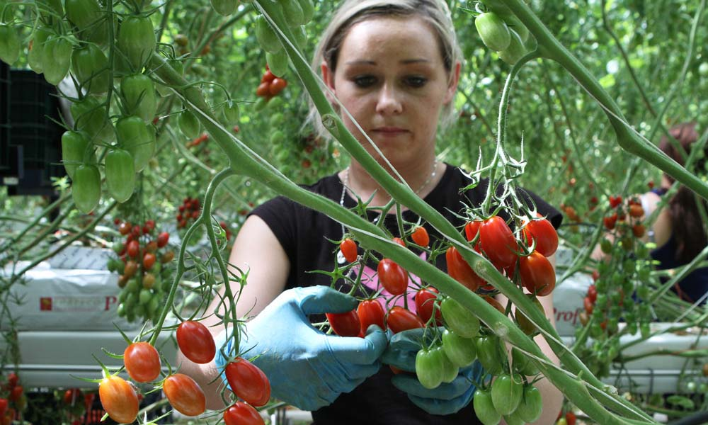 De Tommie snack-tomaatjes van Greenco