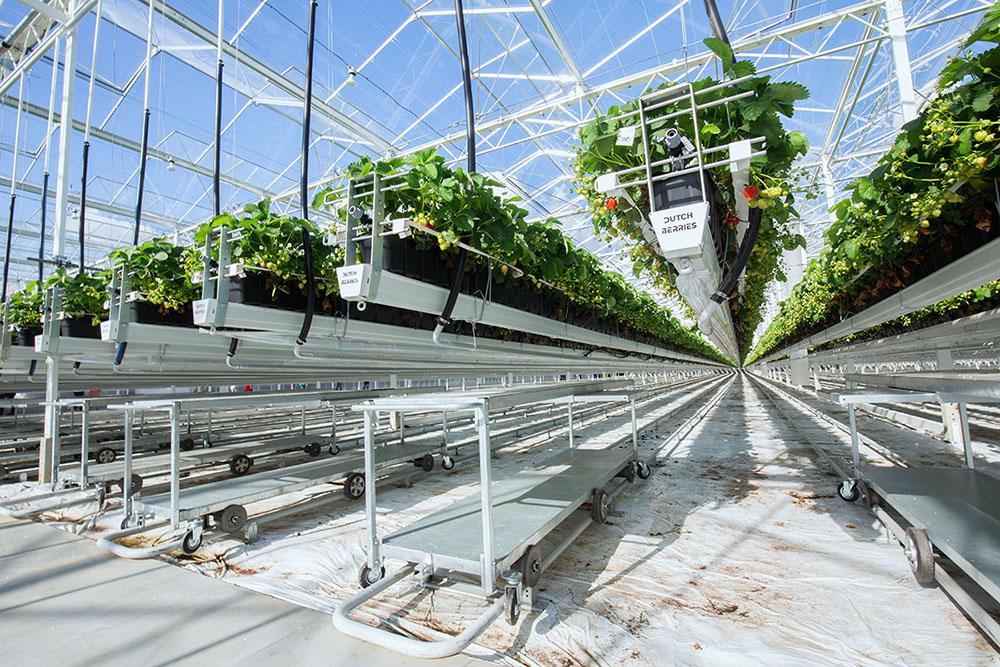 Grootste aardbeienkas van Nederland in recordtijd gerealiseerd
