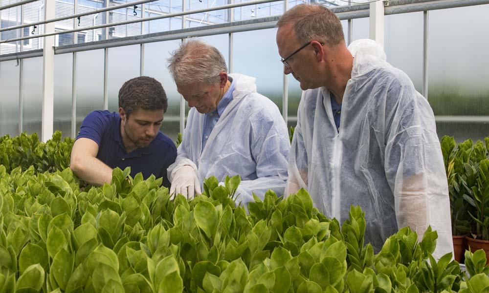 Onderzoekers van het Delphy Improvement Centre in Bleiswijk hebben goede teeltresultaten bereikt met zamioculcas door de principes van Het Nieuwe Telen toe te passen. De planten zijn vier weken eerder leverbaar dan die van de naastgelegen referentieafdeling.