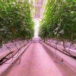 Tomaten in Certhon Innovation Centre
