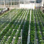 Chrysant op water is veelbelovend, maar finetuning nog nodig
