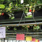 Minder stikstof en fosfaat stimuleren opbrengst en weerbaarheid