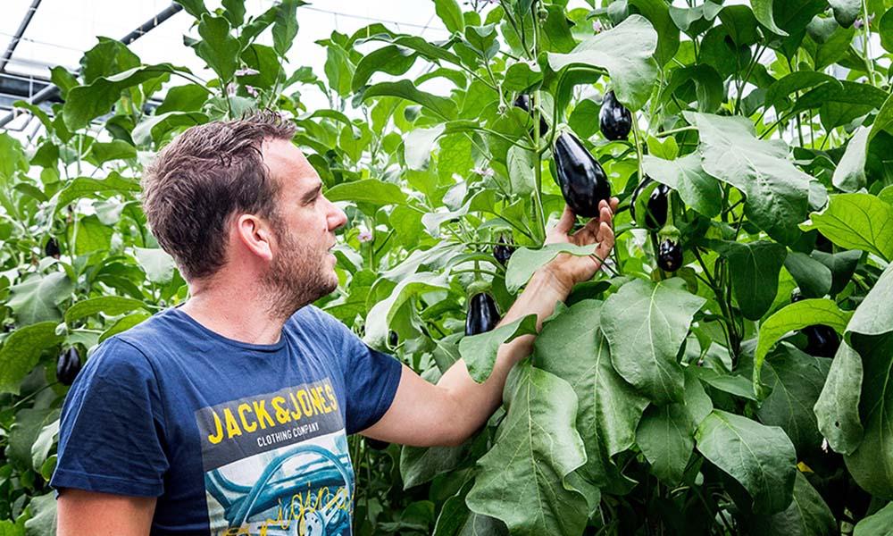 Paraplu van bladeren zorgt voor betere lichtbenutting getopte aubergineplant