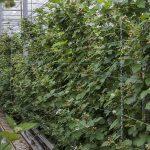 'Er zit nog veel meer potentie in de teelt van zachtfruit onder glas'