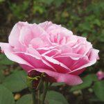 Ontrafeling rozengenen nuttig voor veredeling op kwaliteit en resistentie