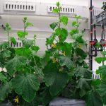 Er lijkt wereldwijd belangstelling te bestaan voor automatische groenteproducerende systemen. Dus monitoring op afstand, helemaal zonder teeltchef met groene vingers.