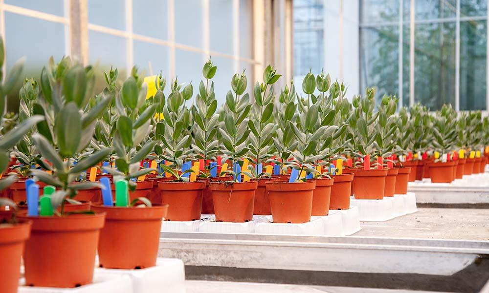 Planten weerbaarder tegen Fusarium dankzij toevoeging groene middelen