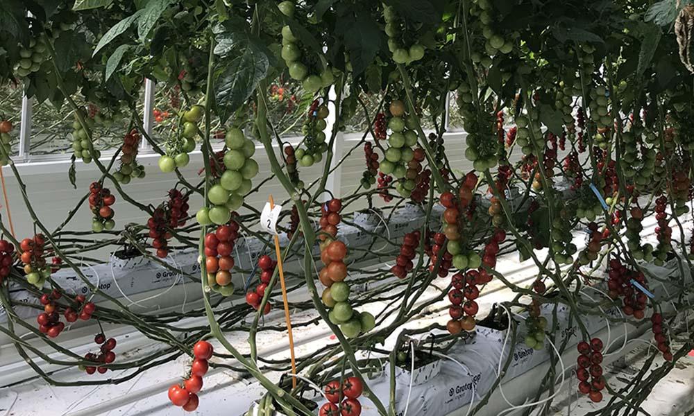 Onderzoek met biostimulatoren moet leiden tot gezondere tomaten