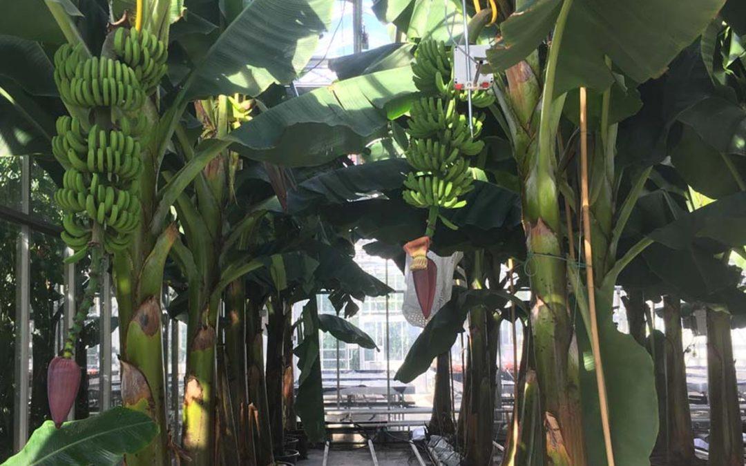Eerste bananen uit Nederlandse kas geoogst