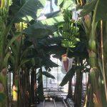 De eerste bananen die in een Nederlandse kas worden geteeld