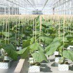 Teeltadvies voor jonge komkommerplanten voor het seizoen 2019