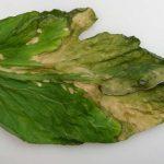 symptomen van clavibacter op een tomatenblad