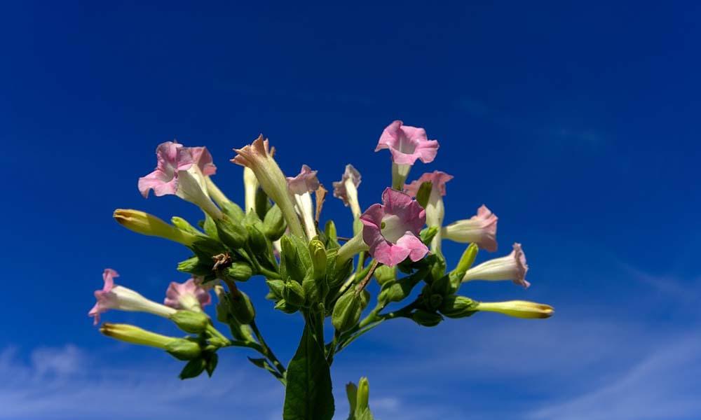 Tabaksplant opvoeren fotosynthese