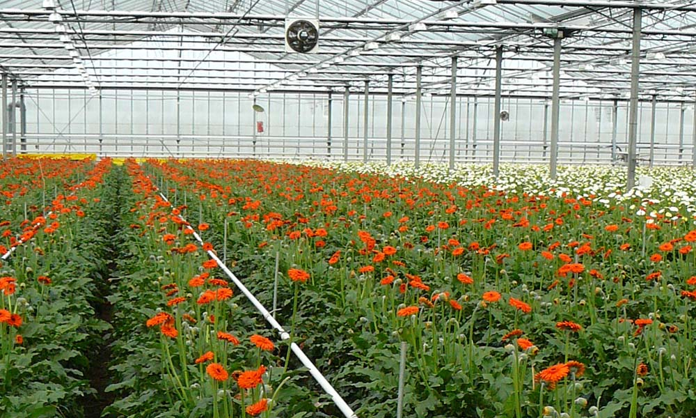 Gerbera voorloper in sierteelt in modelmatig teelt optimaliseren