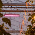 Het project 'Totaalconcept HNT, toegepast in de belichte tomatenteelt' bij het Delphy Improvement Centre in Bleiswijk ligt goed op schema.
