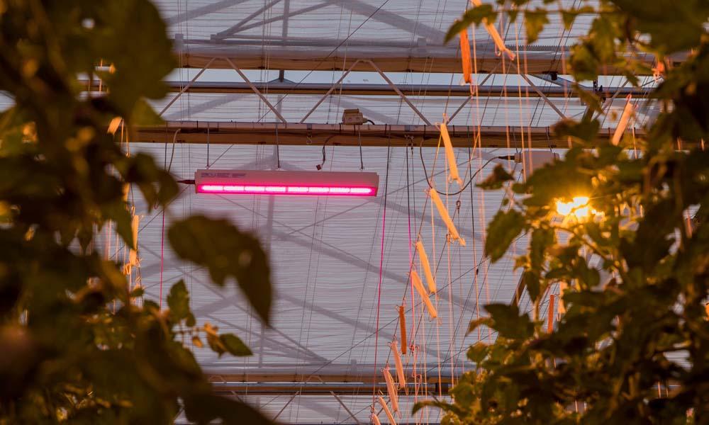 Productie en uitgroeiduur project 'Totaalconcept HNT belichte tomaat' liggen op schema