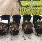 Biostimulatorcompost voor substraat of grondgebonden teelt