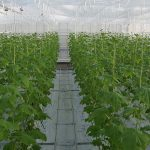 Nieuw onderzoek in winterlichtkas met komkommer