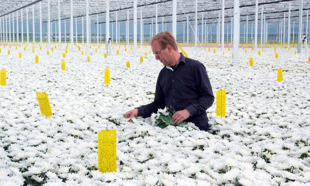 Chrysantenteler Rochus van Tuijl (Linflowers)