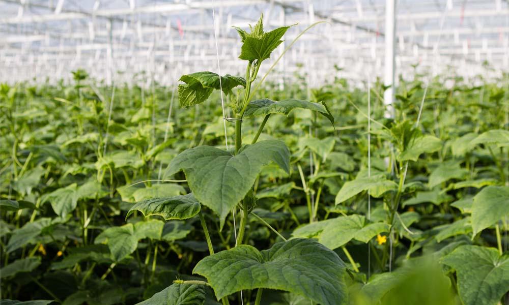 Lichter oogsten om balans en groeikracht in de plant te houden
