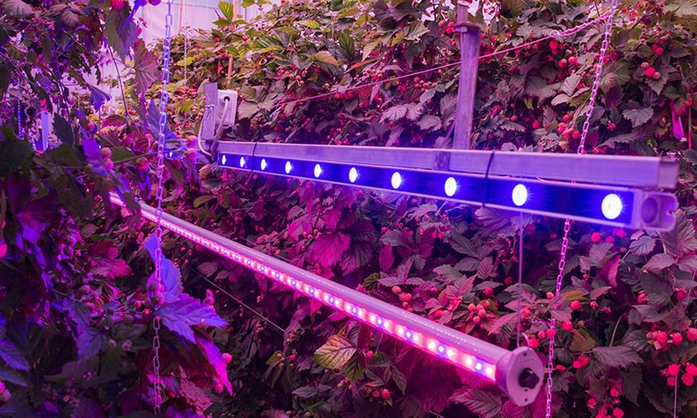 'Braam reageert anders op licht en CO2 dan tomaat'