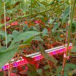 LED-tussenbelichting tomaten