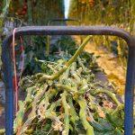 tomatenkas stengels