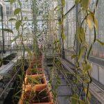 Project beheersing Fusarium in vanille