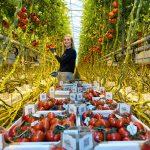 tomaten plukken in kas