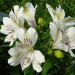 Klimaatmonitoring voor verbetering bladkwaliteit alstroemeria