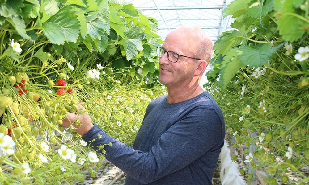 Voor aardbeienteler Jack Loonen is weerbaar telen een continu groeiproces
