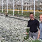 Met LED en SON-T naar zwaardere takken bij hoge plantdichtheid chrysant