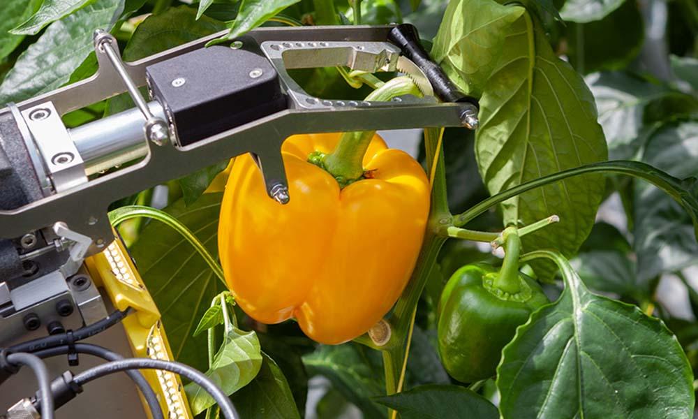 Een robot leren tomaten te plukken of blad te verwijderen
