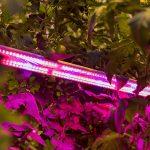 Fossielvrije teelt tomaat groeit generatiever dan verwacht