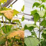 Eerste indruk witte LED's in tomaat en komkommer: goed mee te telen