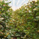 Ingebogen bladerpakket is motor van rozenplant