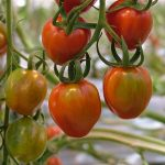 Doorkleuring vruchten vergt aandacht bij belichte tomatenteelt