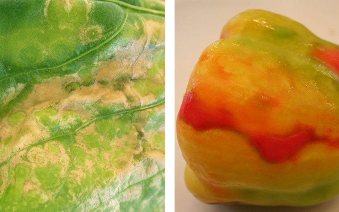 Protocollen tegen virus in tomaat, komkommer en paprika